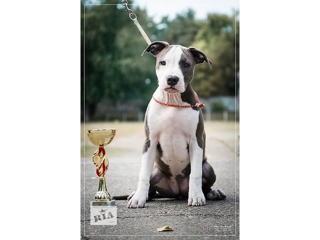купить бу Продается щенок Американского Стаффордширского Терьера FCI-КСУ. в Киеве