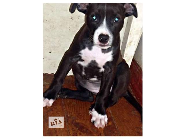 Продаётся щенок амстаффа.- объявление о продаже  в Мариуполе