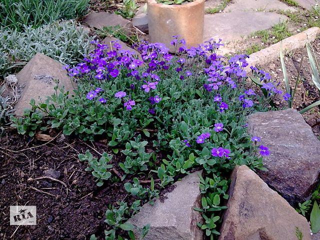 купить бу Продам многолетние растения для альпинариев и клумб в Львове