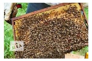 Продам пчелопакеты Винницкий р-он.