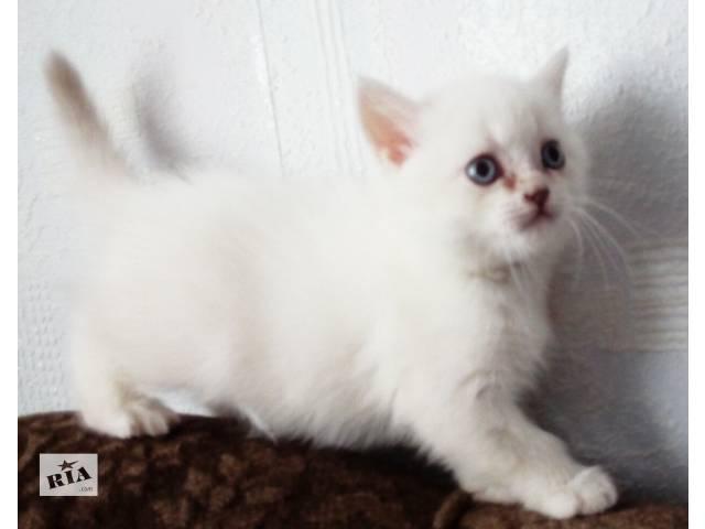 Продам белого шотландского котенка- объявление о продаже  в Одессе