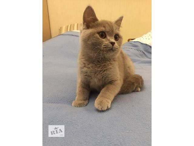 бу Продам британских котят из питомника в Одессе