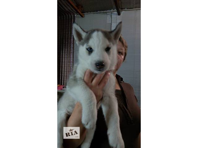 Продам двух щенков сибирской хаски- объявление о продаже  в Кременчуге