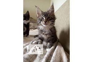 Продам эксклюзивных котяток(кисоньку)