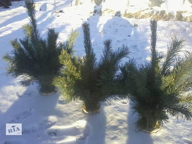 бу продам екибаны новогодние из натуральной сосны. в Харькове