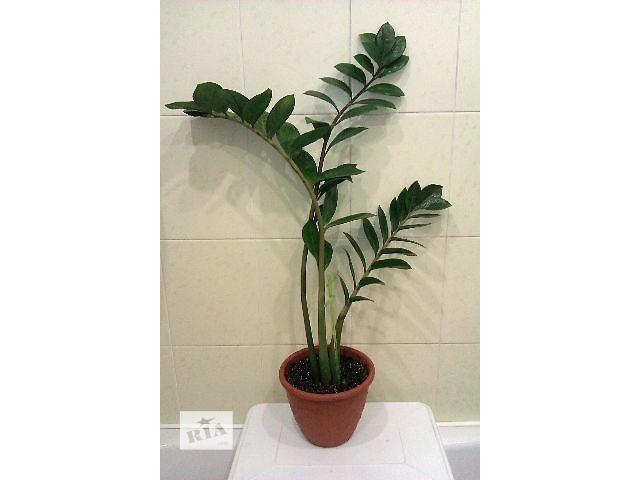 Ісусове дерево кімнатна рослина