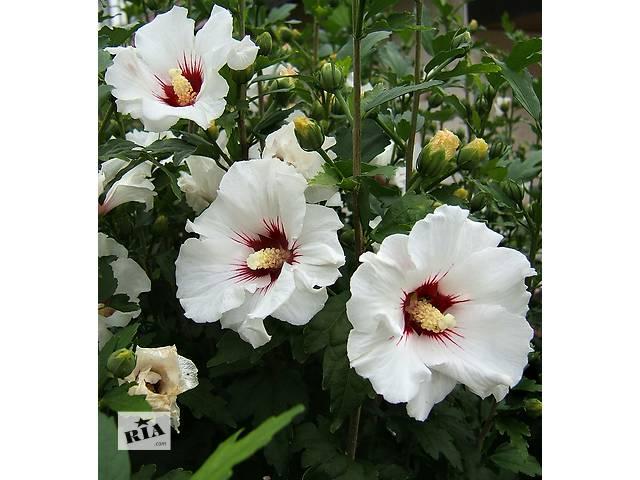 Продам гибискус сирийская роза- объявление о продаже  в Ахтырке