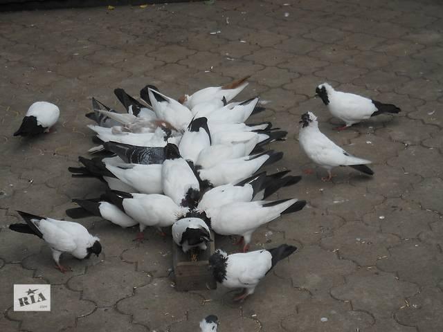 бу продам голубей в Селидово