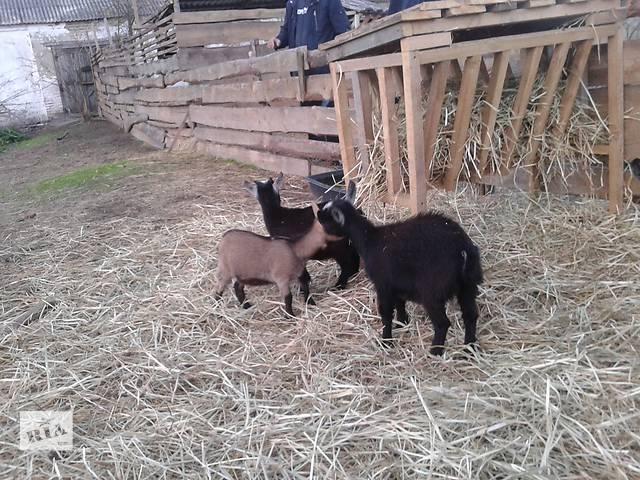 Продам карликовую козу!- объявление о продаже  в Полтаве