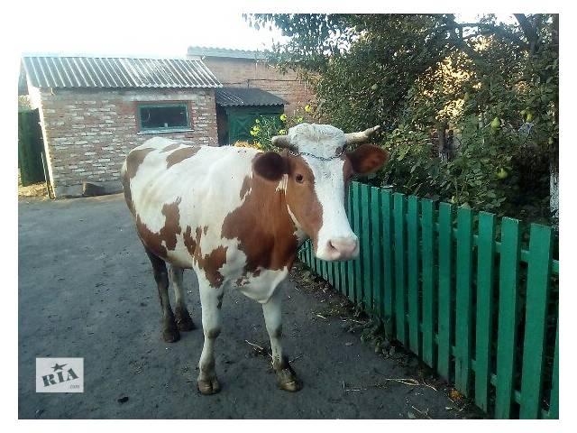 продам Продам хорошую тельную корову бу в Смеле