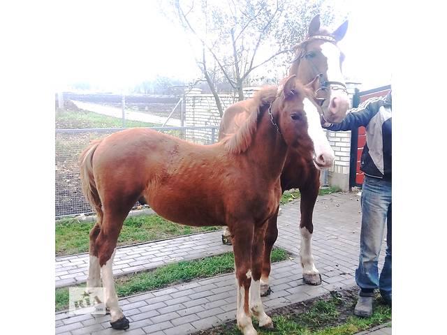 бу продам кобылу с лошаком в Заставной