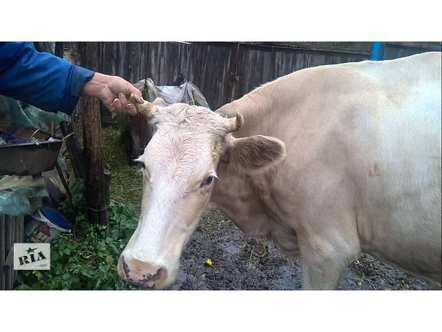 продам Продам корову серой масти бу в Чернигове