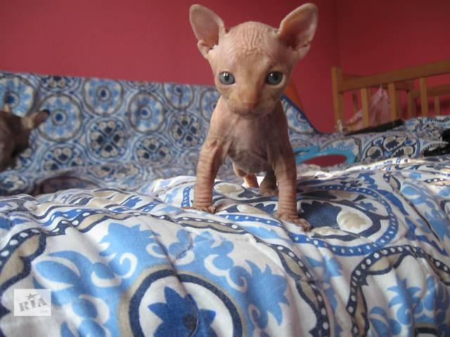 продам Продам котенка канадский сфинкс бу в Каменском (Днепродзержинске)