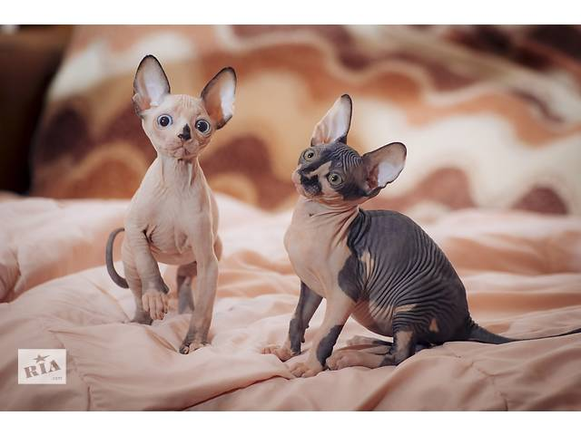 бу Продам котят донского сфинкса в Симферополе