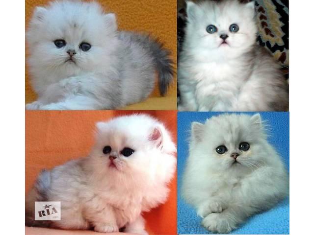 Продам котят, персидкая серебристая шиншила- объявление о продаже  в Днепре (Днепропетровск)