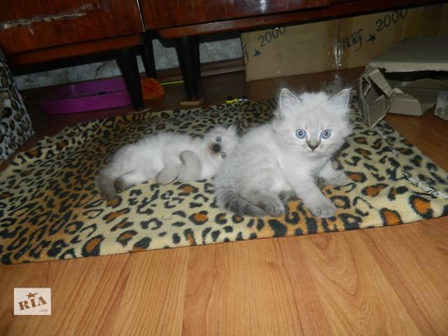бу Продам котят породы Невская маскарадная в Киеве