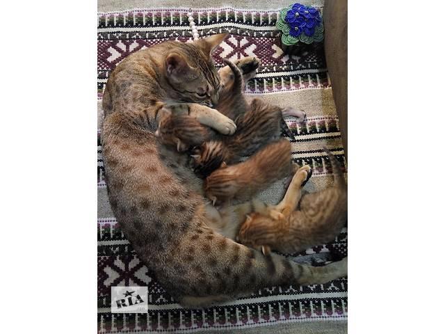 купить бу Продам котят породы ОЦИКЕТ (ocicat) в Киеве