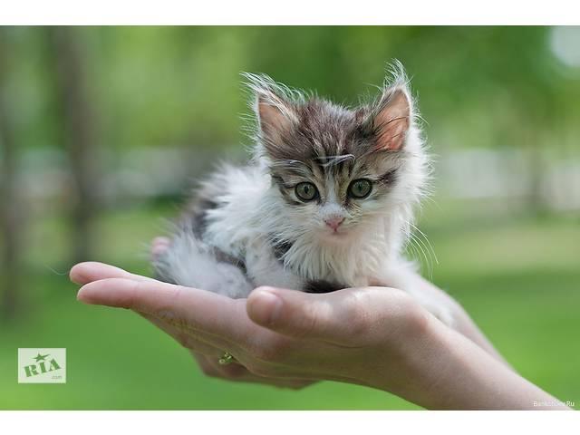 Продам котят- объявление о продаже  в Киеве