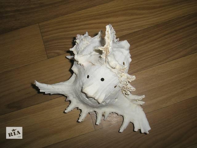 продам продам красивую  раковину океаническую ,большую около 10 см длинны бу в Кременчуге