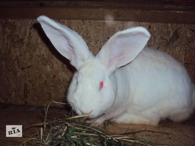 купить бу Продам кролики породы белый и серый великан. в Луцке