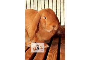 Продам кроля ф\баран !