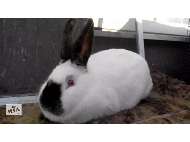 Продам кроликов породы Калифорниец и бургундець- объявление о продаже  в Тернополе