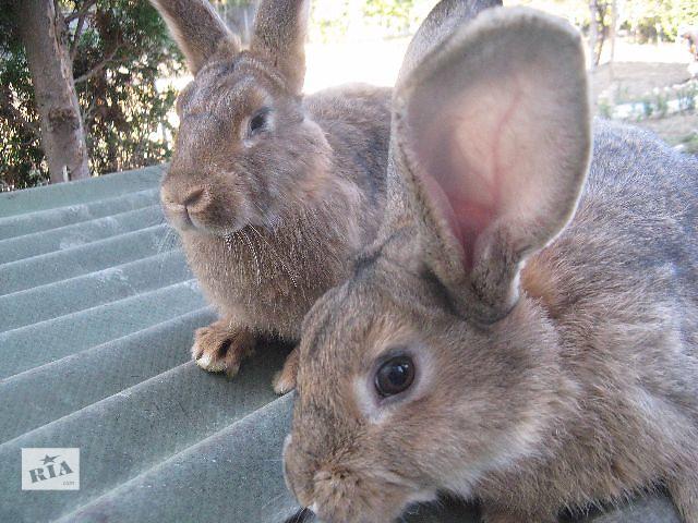 купить бу Продам кроликов Срочно   в Виннице