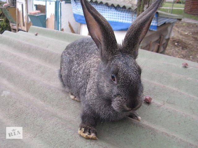 Продам кроликів Терміново- объявление о продаже  в Виннице