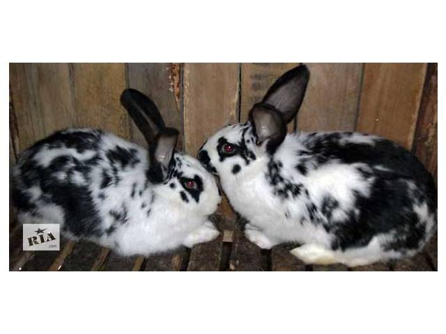 Продам кроликов нутрий!!!!!- объявление о продаже  в Бердичеве