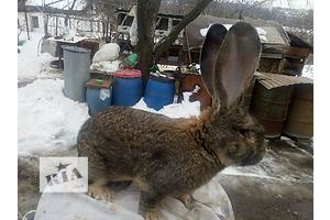 продам кроликов ОБР
