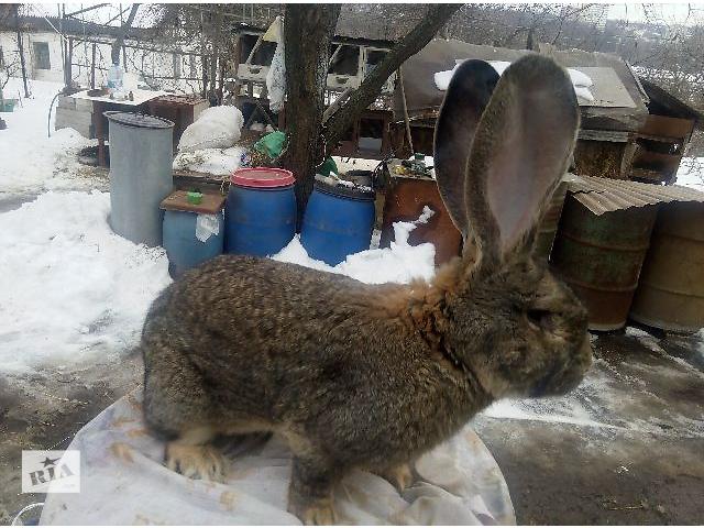 продам продам кроликов ОБР бу в Днепре (Днепропетровске)