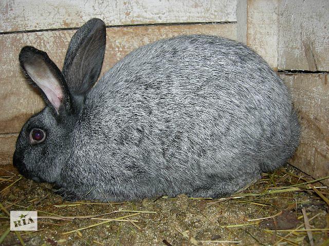 продам Продам кроликов Полтавское серебро бу в Киеве