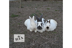 Кролик - объявление о продаже Вся Україна