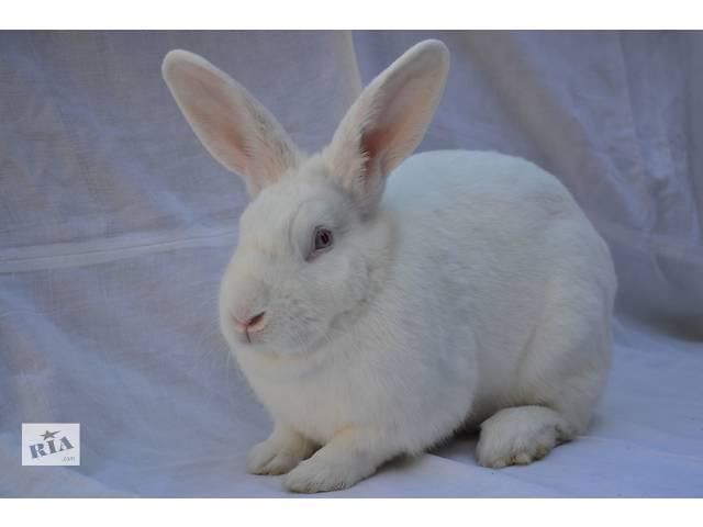 Продам кролики породы Термонська- объявление о продаже  в Новом Роздоле