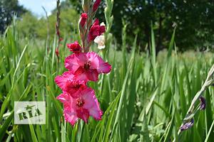 продам Комнатные растения, рассада и цветы в Днепропетровске бу Вся Украина
