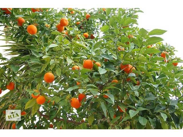 Продам мандариновый бизнес в Абхазии- объявление о продаже  в Симферополе