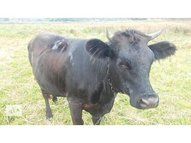 бу Продам молодую телку от хорошей коровы в Лебедине (Сумской обл.)