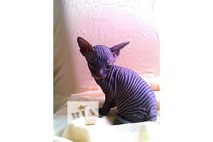 Продам милих кошенят донського сфінкса