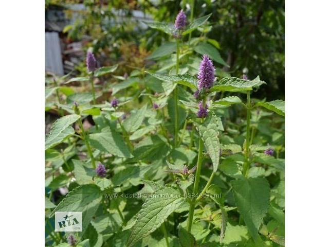 купить бу Продам насіння лофанту анісового в Ахтырке