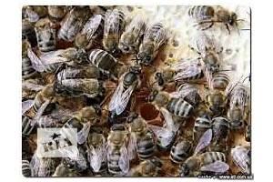 Продам бесплодные пчеломатки