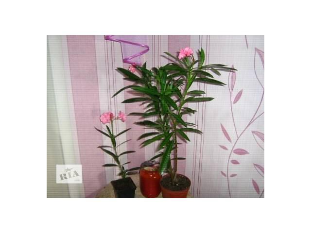 Продам Олеандры Махровые розовый и белый - объявление о продаже  в Запорожье