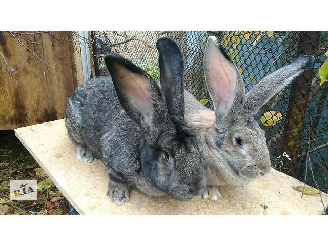 бу Продам племенных кроликов в Одессе