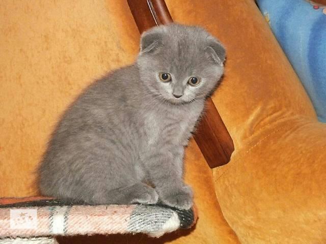купить бу Продам плюшевых милашек шатландских котят в Пологах