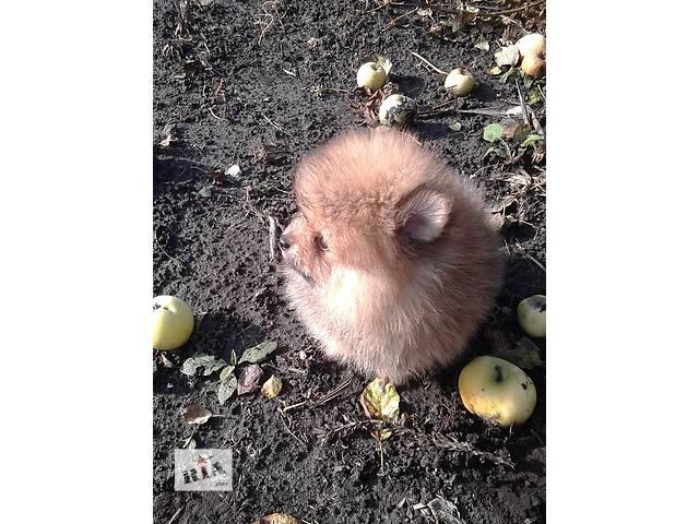 бу Продам помиранского шпица тип Мишка в Харькове