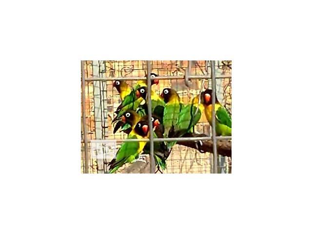 продам продам попугаев неразлучников масковых оптом и в розницу бу в Симферополе