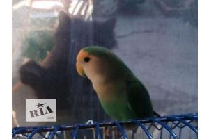 Продам попугая неразлучника!