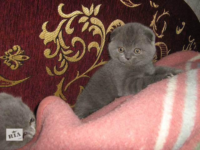Продам породистых котят разных окрасов по разным ценам- объявление о продаже  в Хмельницком