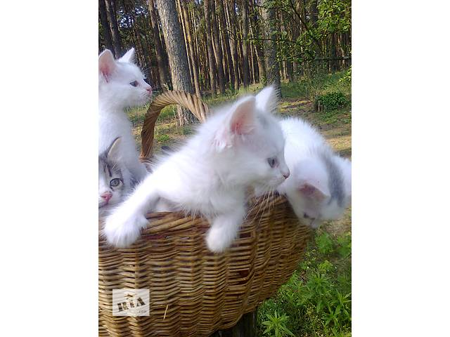 купить бу Продам породистых котят в Киеве