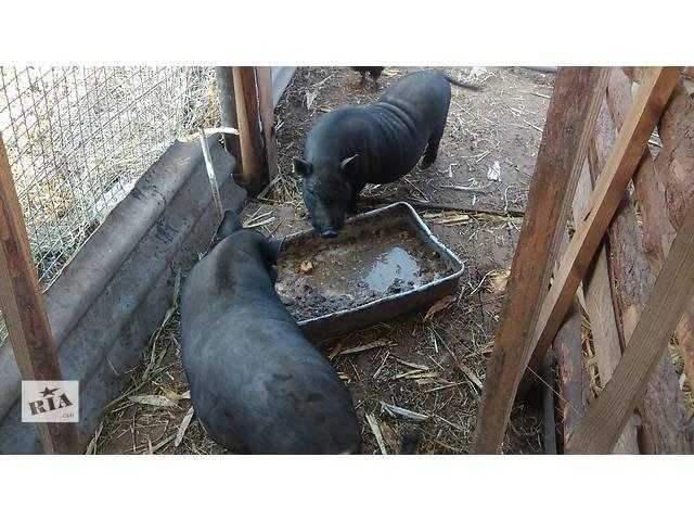 Продам супоросную вьетнамську свинку- объявление о продаже  в Киеве