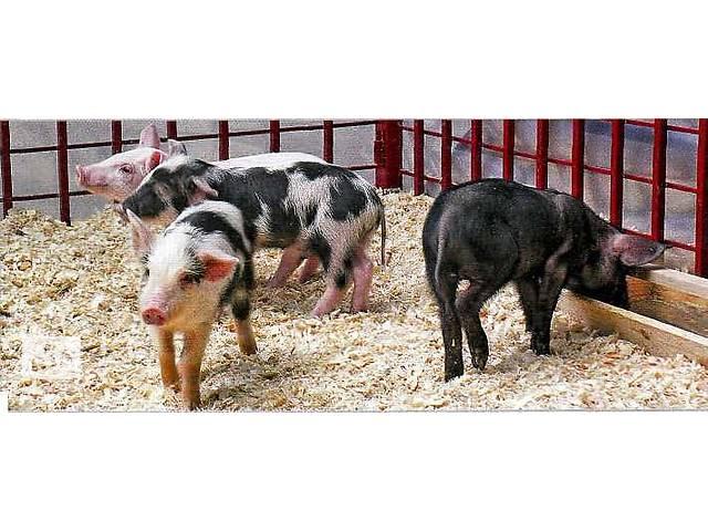 купить бу Продам поросят мясного направления выращивания в Мукачевском районе в Мукачево